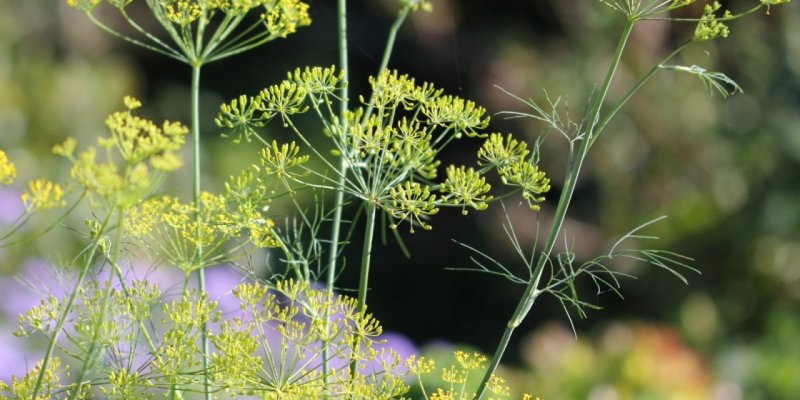 growing-dill-tasty-herb-health-benefits-1280x640.jpg