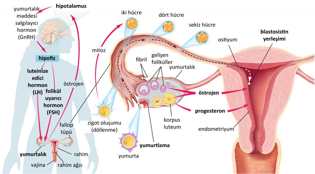 Progesteron_Nedir.png