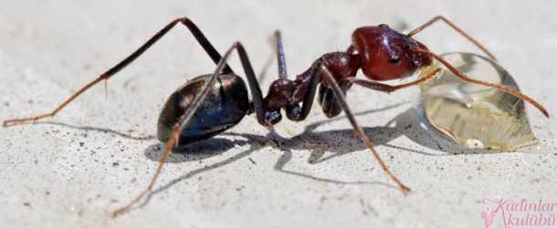Evdeki karınca