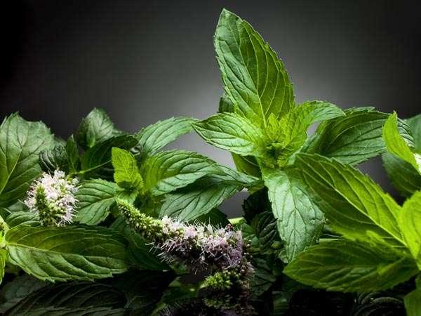 Adet düzenleyici şifalı bitkiler