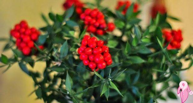 Yılbaşı Çiçeği Kokina Nedir Bakımı Nasıl Yapılır Efsanesi Nedir 81